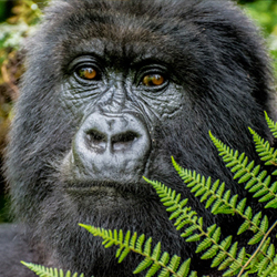 On a gorilla trek in Rwanda, groups can get close to the endangered animals. // © 2013 Bob Demyan