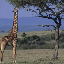 Giraffes are among the wildlife commonly seen on safari in the Masai Mara Game Reserve. // © 2014 Thinkstock