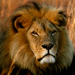 Support the lions by staying at a Marasa property in Uganda. // © 2013 World Lion Day