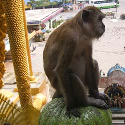 Macaques monkey are the cute, and sometimes mischievous, residents of Malaysia's Batu Caves. // © 2013 Mark Rogers