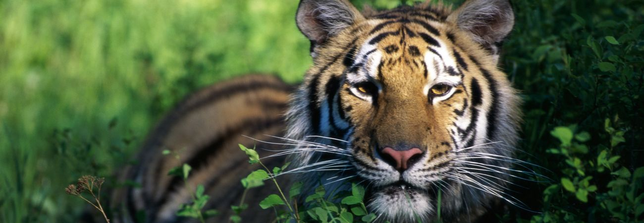 Tiger Safari Tours in India and Nepal