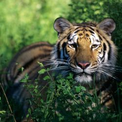 Tiger safari tour operators offer chances to see endangered tiger species in India and Nepal. // © 2013 Thinkstock