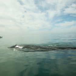 Gray whales are common in the Sea of Cortez. // © 2013 Lisa Frobisher