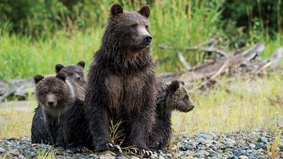Tracking Grizzly Bears in British Columbia