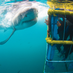 Shark cage diving with great whites is not for the easily rattled. // © 2013 White Shark Diving Company
