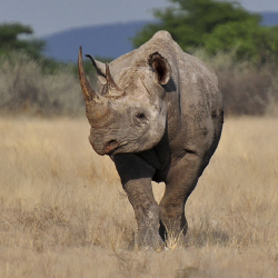 Namibia's conservation efforts are increasing Black rhino populations. // © 2014 Thinkstock