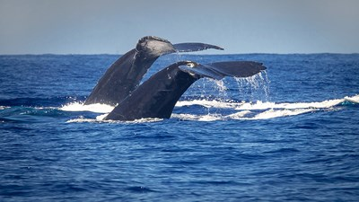 The Newest Whale-Watching Excursions on Maui