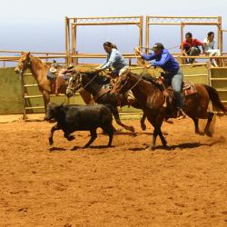 Rodeo action at Molokai Ranch // © 2013 Molokai Ranch