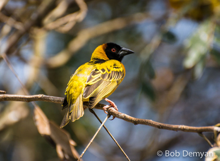 Yellow Weaver // (c) Bob Demyan