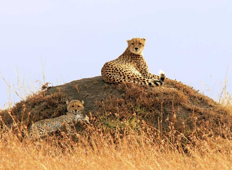 The elusive cheetah can be seen on safari in many national parks in southern and eastern Africa. // © 2014 Thinkstock