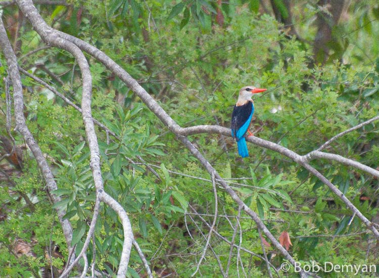 The Woodland Kingfisher // (c) Bob Demyan