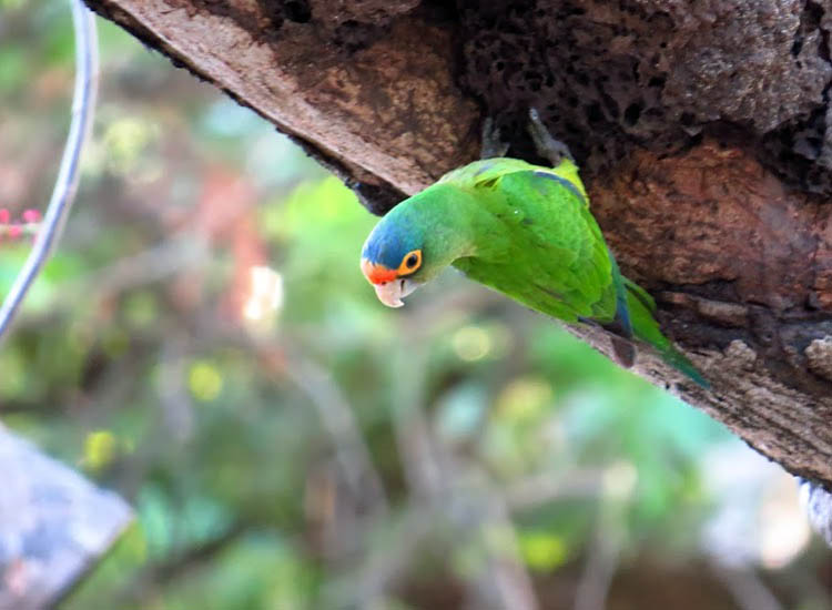 This colorful parakeet, found lounging at a beachside bar, is one of the many tropical birds living in Tamarindo. // © 2014 Nikki Gloudeman