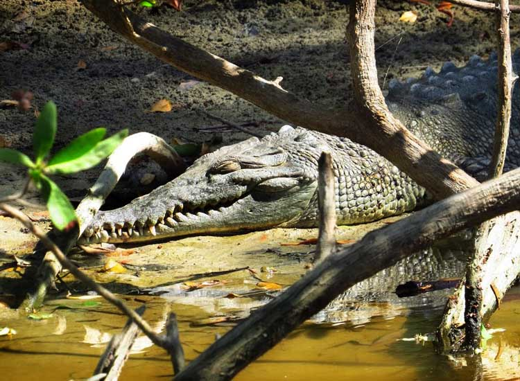 A mangrove swamp by Playa Tamarindo houses a lazy crocodile. // © 2014 Nikki Gloudeman