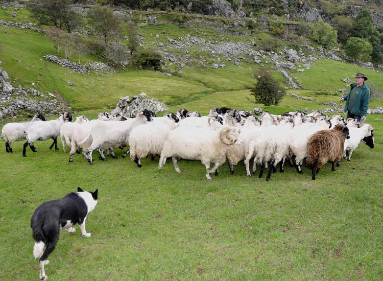 Visiting an Irish sheep herder is a CIE guest favorite. // © 2014 CIE Tours international
