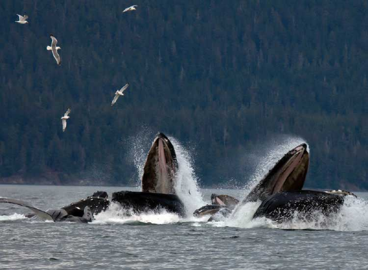 "Humpback whales sometimes engage in ""bubble-net"" feeding.// © 2014  Thinkstock"