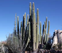 Visitors to the Desert Botanical Garden can see and learn about a variety of desert plants, including the Cardon cactus. // © 2012 Mindy Poder