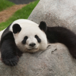 The Panda Exhibit in the Toronto Zoo has special programs for visitors. // © 2014 Thinkstock